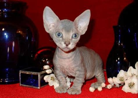 Minskin Cat   Breed Profile and Facts