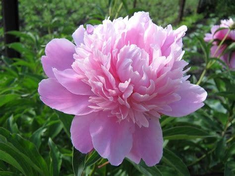 peony flower wallpapers wallpaper cave