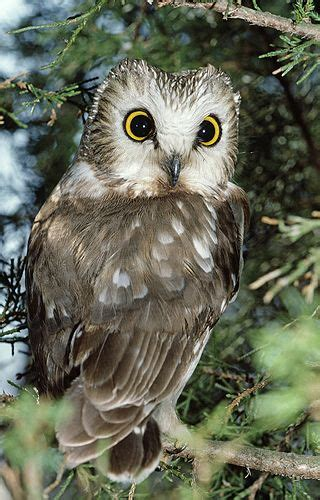 17 beste afbeeldingen over uilen owl op pinterest