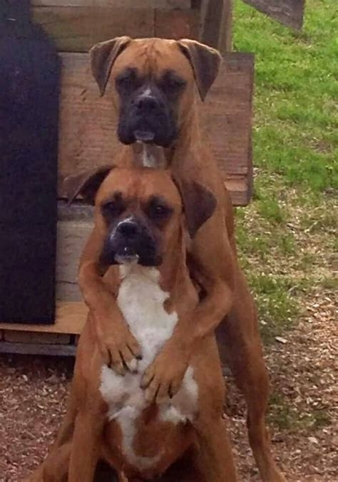 best boxer 45 amazing white and brown boxer golfian