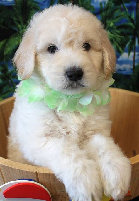 goldendoodle club of america goldendoodle colors 28 images goldendoodle association