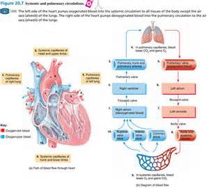 bio121 systemic and pulmonary circulations flashcards