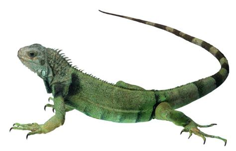 imagenes de animales reptiles reptiles amphibians
