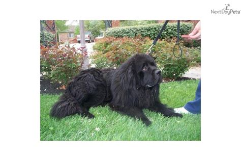 newfoundland puppies for sale in va newfoundland puppy for sale for 1600 beautiful gray newfie puppy breeds picture