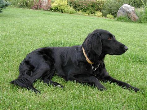 flat coated retrievers flat flat coated retriever fotos tu amigo el perro