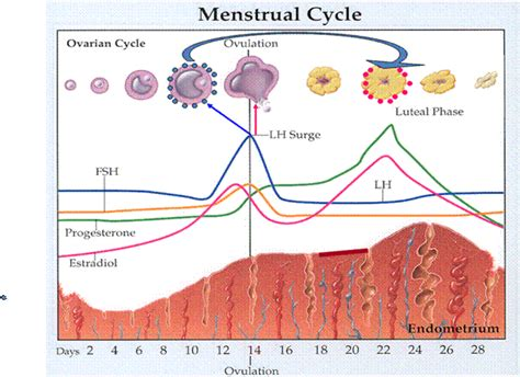 Detox Menstrual Cycle by Image Gallery Menses Cycle