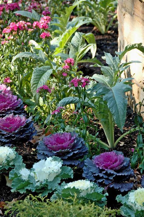 edible backyard plants best 25 cabbage plant ideas on pinterest