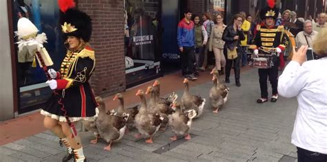 geese march   beat    drum