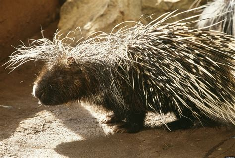 porcupine quills inspire better needles for medical devices huffpost