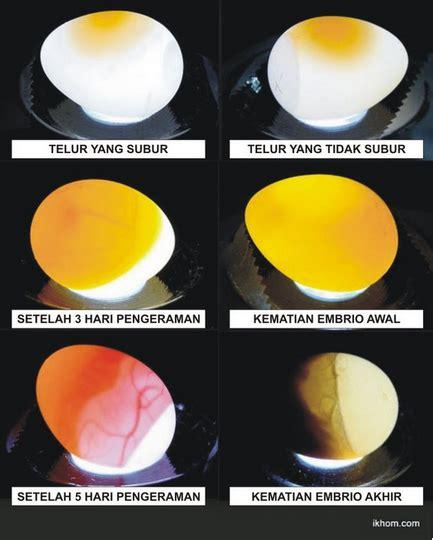 Vitamin Apa Saja Untuk Ayam Petelur mengatasi telur lovebird gagal menetas