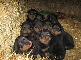 rottweiler puppies for sale in eastern cape rottweiler puppies looking for home port elizabeth free classifieds in south