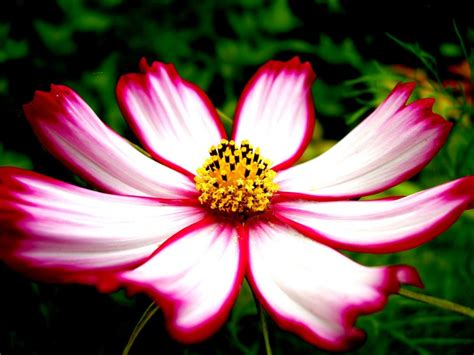 imagenes de rosas lindas preciosas de fondo de pantalla imagenes de růžov 225 kytka vše co si jen přeješ