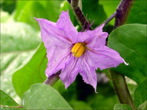 plant id vegetables eggplant florida master gardener