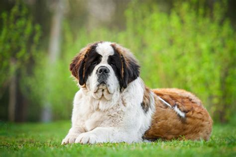 dieta para san bernardo san bernardo mascotas canandcam salud consultas
