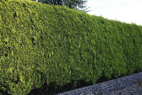 is leyland cypress still the tree to plant i think not leyland cypress x cuprocyparis leylandii southern living
