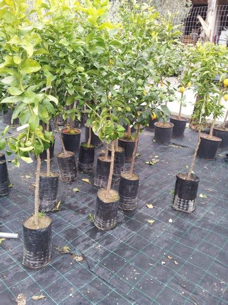 coltivare il limone in vaso galleria foto come coltivare il limone in vaso foto 1