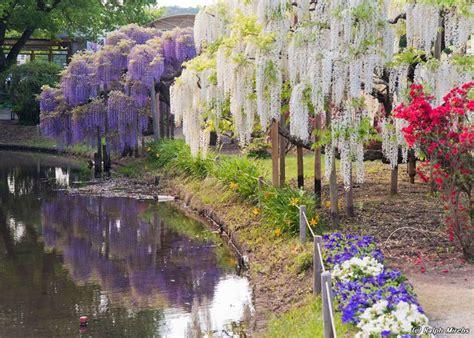 ashikaga flower park wisteria