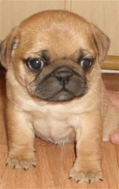 apricot pugs apricot pug puppy dogs pug happy and puppys