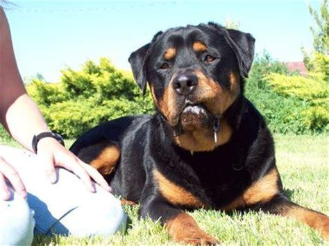 rottweiler dogs 101 dogs 101 rottweiler 791 decksscom breeds picture