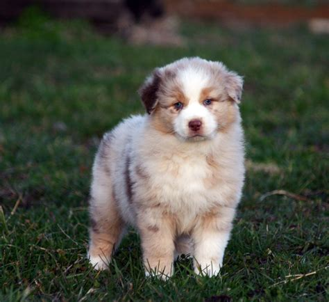 aussie corgi puppies akc australian shepherd pembroke corgi puppies in central ky
