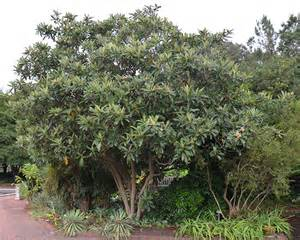 Fragrant Flower Trees - ufei selectree a tree selection guide