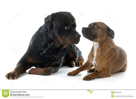 rottweiler terrier staffordshire bull terrier and rottweiler stock image image 50916163