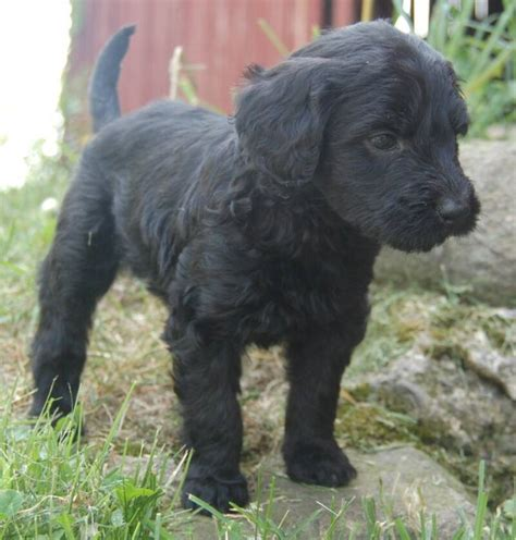 black goldendoodle puppies goldendoodle puppies for sale