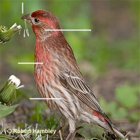 red house finch red finch www pixshark com images galleries with a bite