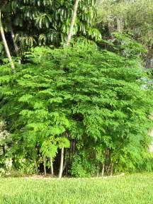 how to prune moringa trees