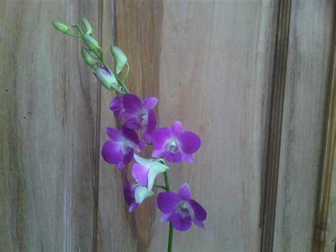 Benih Biji Bibit Tanaman Bunga Anggrek Cymbidium Yellow tanaman anggrek dendrobium 1 bibitbunga