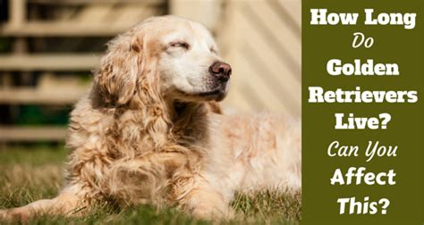 how much do golden retrievers shed golden retriever health and care
