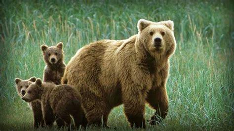 imagenes de la familia de osos imagenes de osos