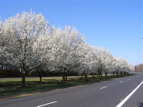 Trees Nc - nc flowering trees photo picture
