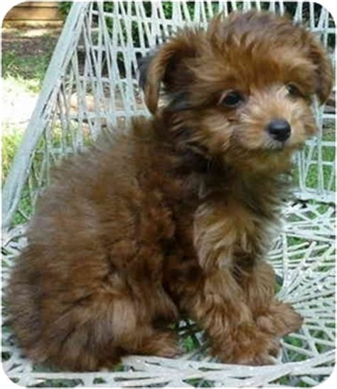 miniature poodle and yorkie mix cracker adopted puppy greensboro nc yorkie terrier poodle miniature