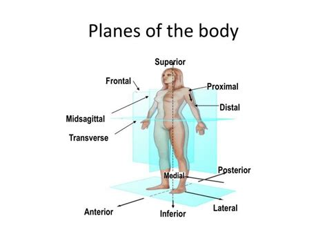 body planes and sections ppt body planes and directional terms powerpoint