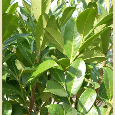 prunus laurocerasus boething treeland farms