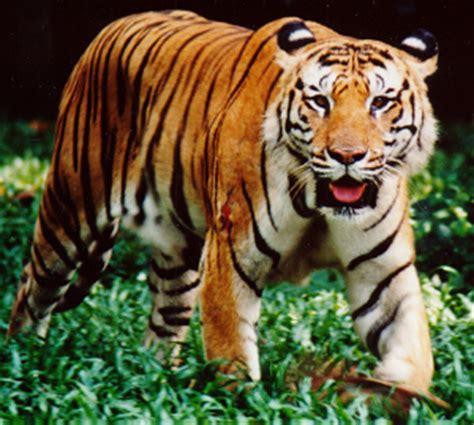 Harimau Lapar setitik madu harimau dan buaya pokok manggis depan rumah