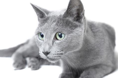 Do Russian Blue Cats Shed by Hypoallergenic Cats Are A Paw Radise For Allergic Cat