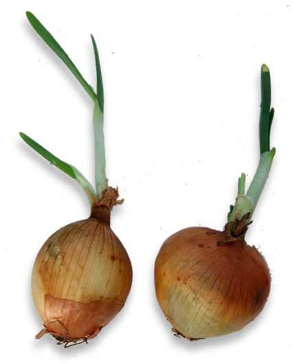 onion medicinal herb info universal wellness development center alternative health