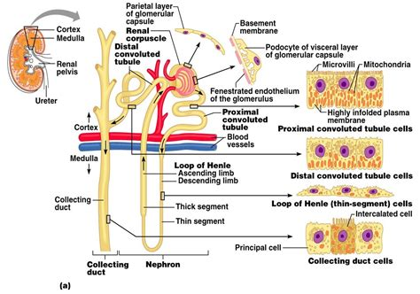 structure diagram nephron diagram from a textbook nephron get free image