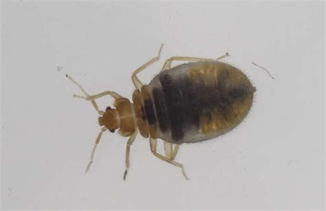 california bed bug law calif couple posts skin crawling video of bed bugs in nyc
