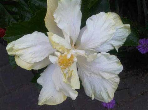 Hibiscus Putih Tumpuk 20 40cm bibit tanaman mawar white ivory spec dan daftar harga