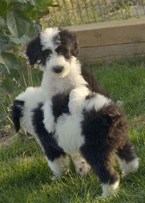 sheepadoodle puppy sheepadoodle i want