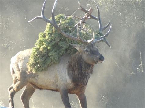 Marvelous Phillips Christmas Tree #5: XMASTREE-elk.jpg