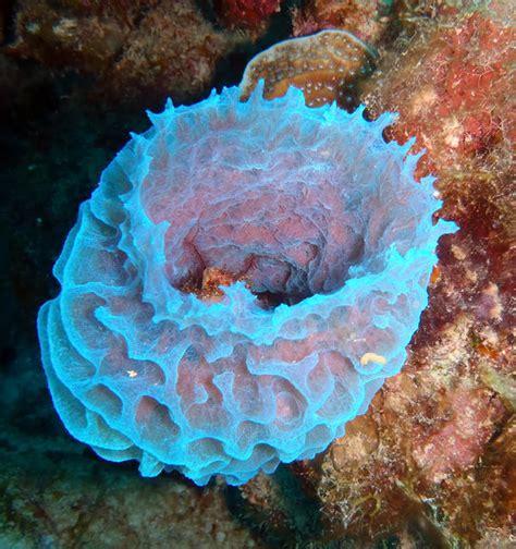 Vase Sponge by Azure Vase Sponge By