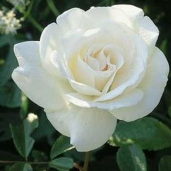 Tanaman Hias Floribunda White tanaman mawar putih white bibitbunga