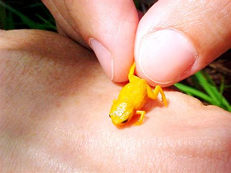 Real Pict Mini seven new mini frogs found among smallest known