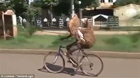 Its A Jungle Around Your Waist by Shows Cycling Road With Two Goats On His