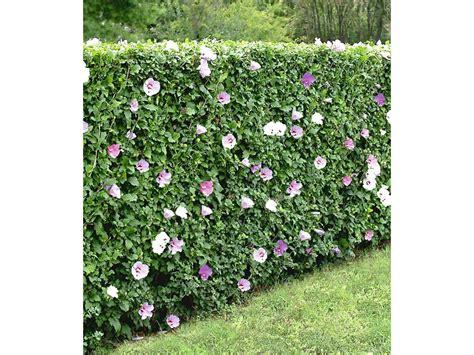Lidl Garten Pflanzen by Winterharte Hibiskus Hecke 10 Pflanzen Hibiscus Syriacus