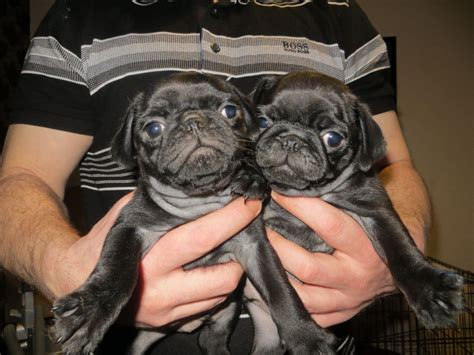pugs for sale liverpool chunky pugs for sale liverpool merseyside pets4homes